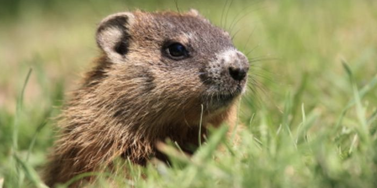 REPORT: The History of How Groundhog Day Started