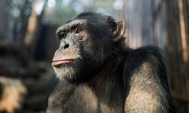 VIDEO: Chimps use branches to build ladder in daring zoo escape