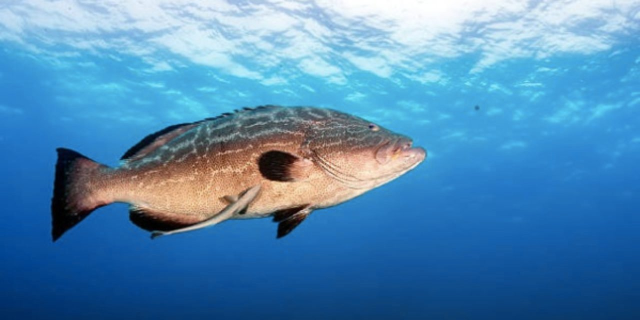 REPORT: Fishermen catch goliath grouper weighing 350 pounds: 'I've never seen people so excited in my life'