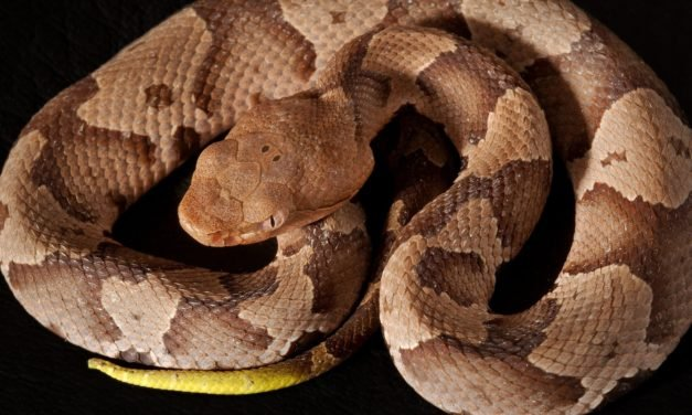 REPORT: Hunter airlifted for treatment after bumping into rare venomous snake